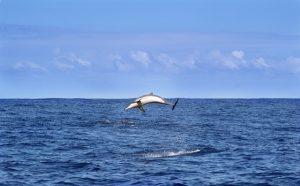 dolphin-422926_640